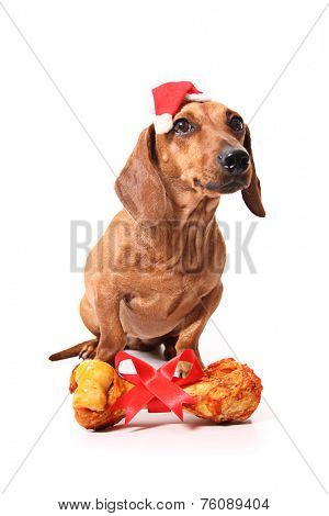 An isolated dachshund dog with a delicious bone received as a gift.