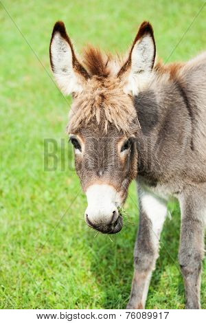 Small sweet donkey in a field