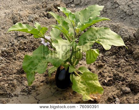 growing eggplant with fruits and flower