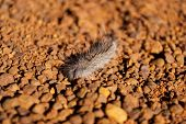 stock photo of uluru-kata tjuta national park  - Australian millipede crawler in the Australian desert