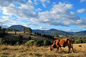 foto of zebu  - Brown cow in a rural landscape in Australia - JPG