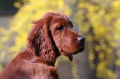 foto of clever  - Beautiful and clever Irish Setter female puppy looking - JPG