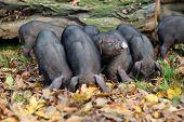 foto of piglet  - Six Funny small black Vietnamese piglets outdoors  - JPG