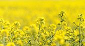 pic of rape-seed  - Blooming canola field - Rape on the field in summer