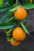 picture of tangerine-tree  - Tangerines ripening on the tree - JPG