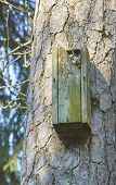 picture of nesting box  - Red squirrel in the nesting box at the springtime