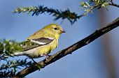 picture of goldfinches  - Male Goldfinch Changing to Breeding Plumage in Spring - JPG
