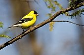 foto of goldfinches  - Male Goldfinch Perched on a Branch in a Tree