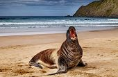 pic of cannibalism  - Wild seal on the beach - JPG