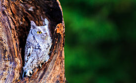 foto of screech-owl  - A portrait of a Screech owl in deep thoughts with green background - JPG