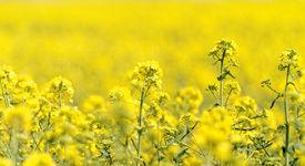 foto of rape-field  - Blooming canola field - Rape on the field in summer ** Note: Shallow depth of field - JPG