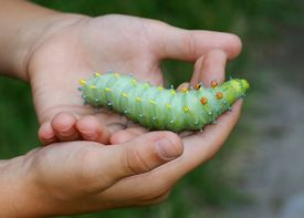 picture of moth larva  - Giant silk caterpillar in a child - JPG