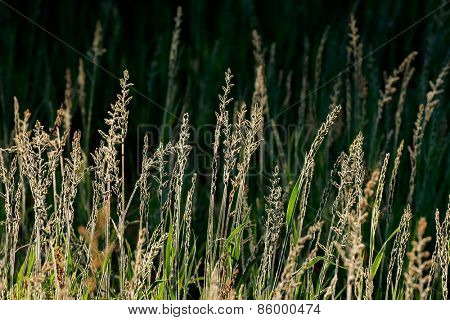 Silver grasses in early morning light