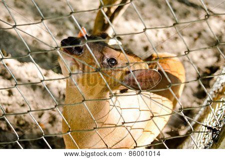 Fea Muntjac Is Deer