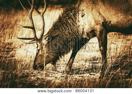 Adult North American Elk