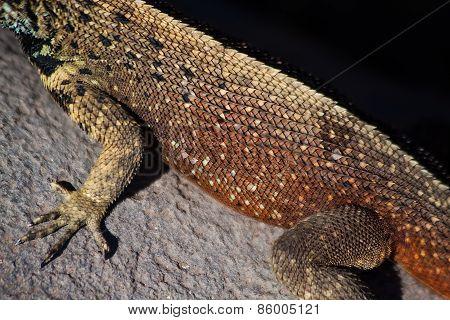 Closeup shot of a marine iguana's skin in the Galapagos Islands