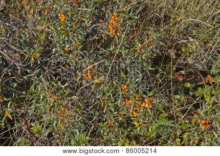 Close up on Hippophae rhamnoides, sea-buckthorns.