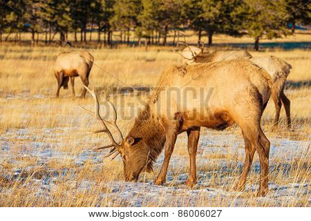 Elks Gang On The Meadow