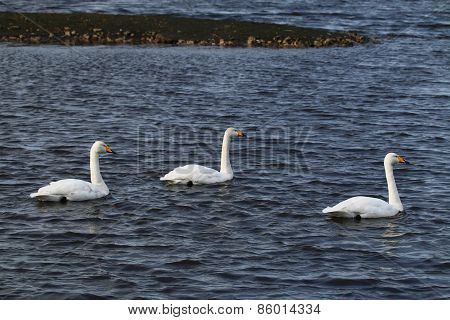 Three Whooper Swans (Cygnus cygnus)