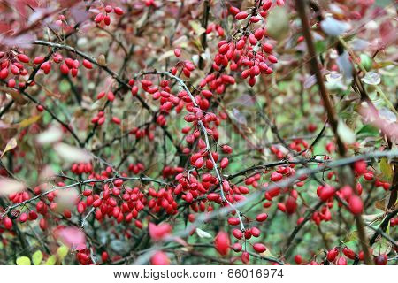 Barberry Branches With Berries