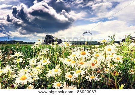 Summer Field Covered By Daisies