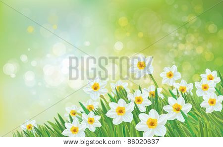 Vector daffodil flowers.