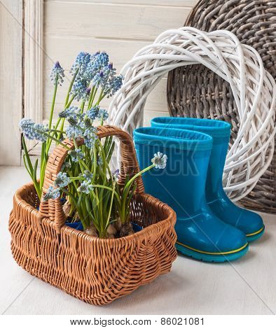 Muskari Sprouts And Blue Rubber Boots