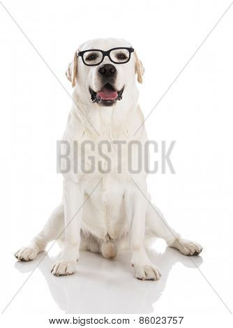 Beautiful labrador dog sitting and using glasses
