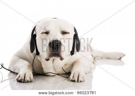 Beautiful labrador dog lying and listen music