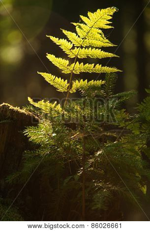 Fern In The Forest With Early Morning