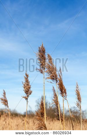 Dry Reeds Against Blue Sky.