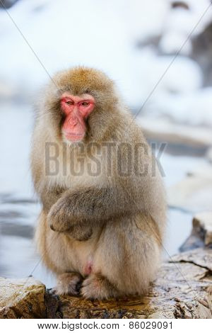 Snow Monkey Japanese Macaques at onsen hot springs of Nagano, Japan
