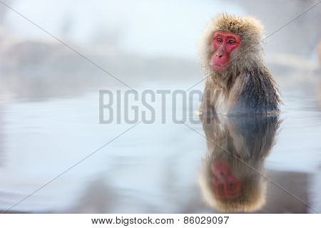 Snow Monkey Japanese Macaques bathe in onsen hot springs at Nagano, Japan