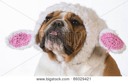 english bulldog wearing a knitted lamb hat on white background