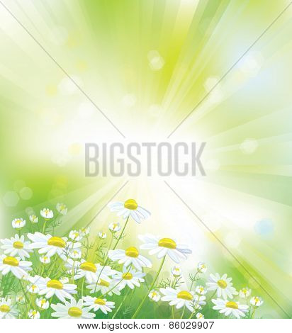 Vector chamomiles flowers background.