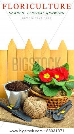 Blooming Red Spring Primulas In Flower Bed With Rake, Shovel Against Wooden Fence