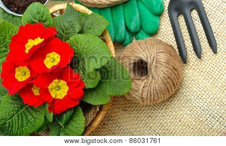 Beautiful Red Primula In Flowerpot And Gardening Tools.