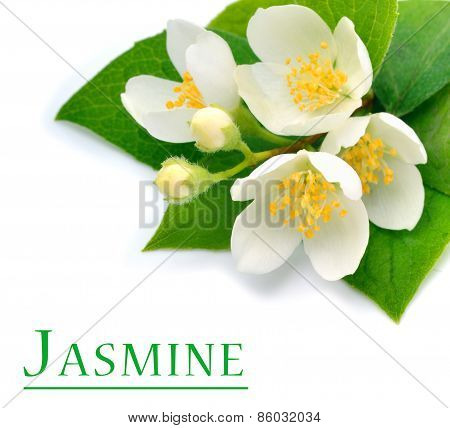 Blossom Of Jasmine Flower Isolated On White