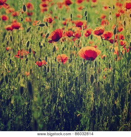 Poppy in a field
