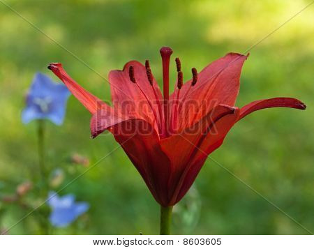 Single Red Lilly On The Green Background With Delphinium Flowers
