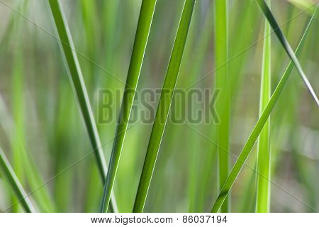 Bulrush Bush Close-up.