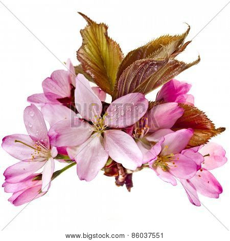 Pink cherry blossom (sakura flowers), with water drops  isolated on white background