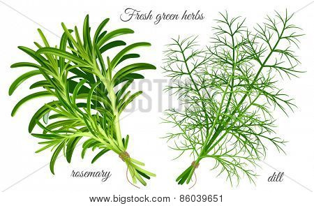Fresh green herbs dill and rosemary. Vector illustration