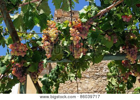 Ripe grapes on the vine, Spain.