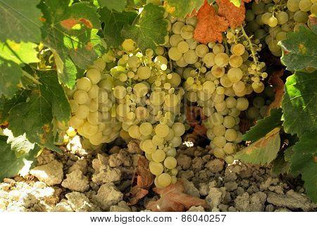 Ripe grapes on vine, Montilla.
