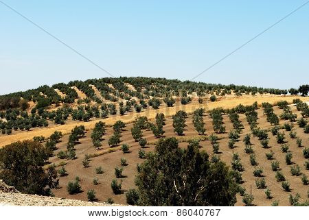 Olive groves, Montilla.