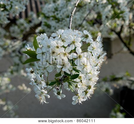 Blossoming Tree Brunch With White Flowers.