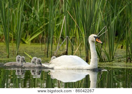 Female The Mute Swan With Chicks