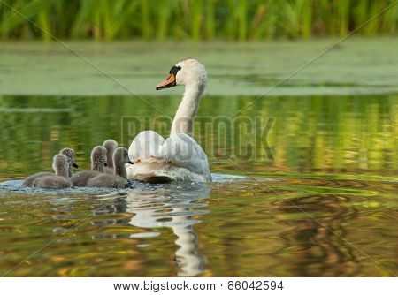 Female The Mute Swan With Chicks , Rear View.