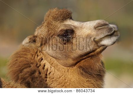 Proud Bactrian Camel